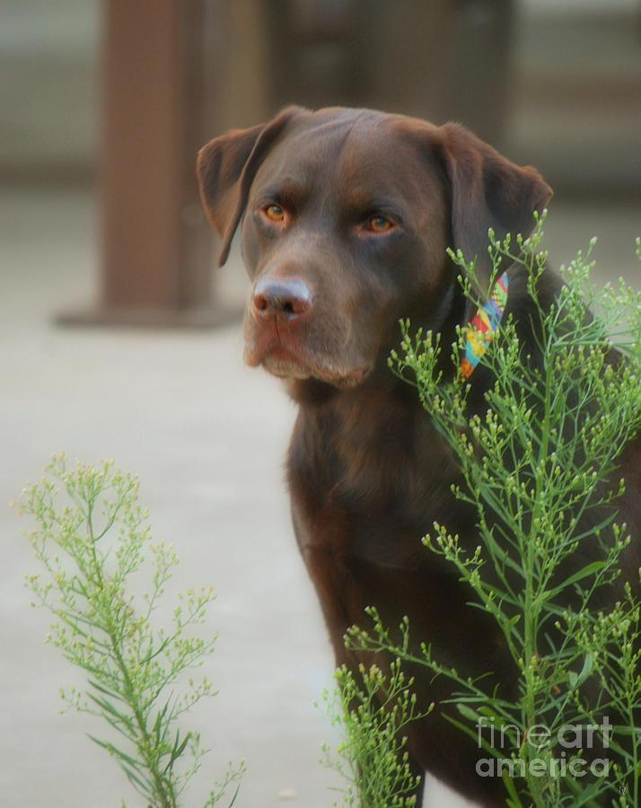 Donna Van Vlack Photograph - Chocolate Labrador - Womans Best Friend by Donna Greene