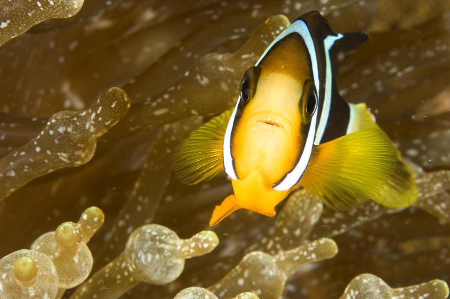 Eye Contact Photograph - Clarks Anemonefish Among An Anemones by Tim Laman
