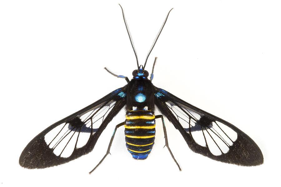 00478759 Photograph - Clearwinged Tiger Moth Tapanti Np Costa by Piotr Naskrecki
