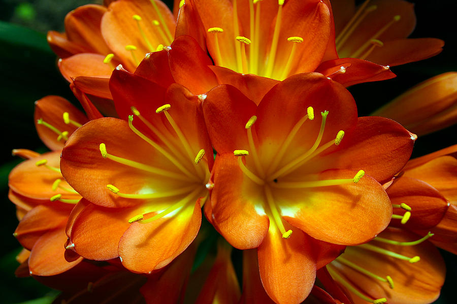Clivia Miniata Photograph - Clivia Bloom by PIXELS  XPOSED Ralph A Ledergerber Photography