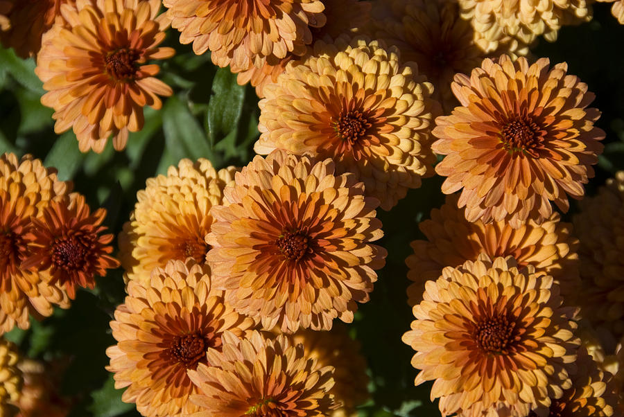 Flowers Photograph - Close-up View Of Orange Mums In Bloom by Todd Gipstein