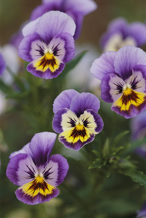Plants Photograph - Close View Of Pansy Blossoms by Darlyne A. Murawski