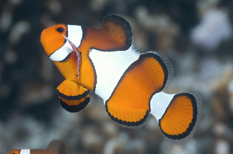 Clown Anemonefish Photograph - Clown Anemonefish by Georgette Douwma