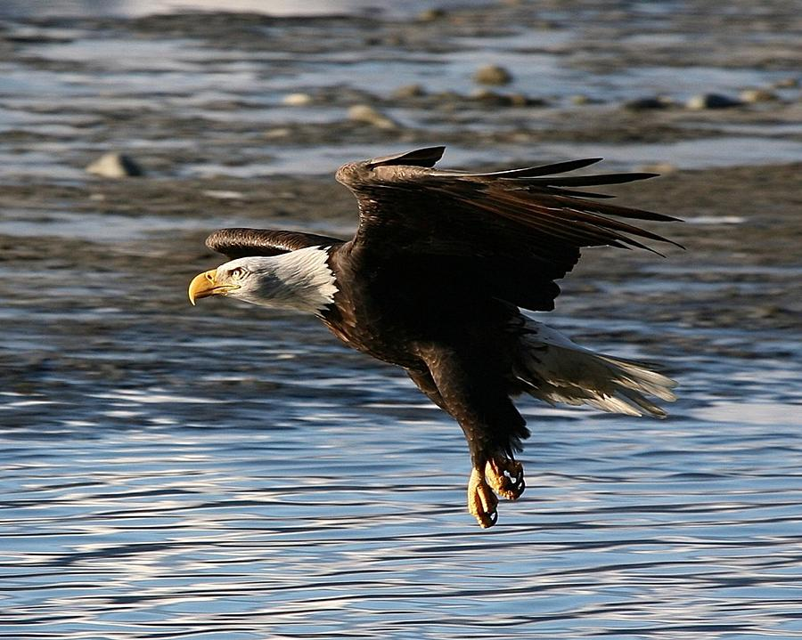 Bald Eagles Digital Art - Coming In For The Landing by Carrie OBrien Sibley