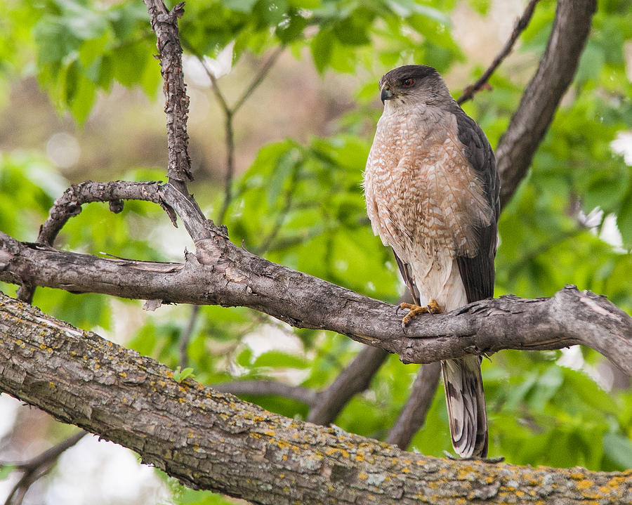 Cooper's Hawk Photograph - Coopers Hawk by Chris ODonoghue
