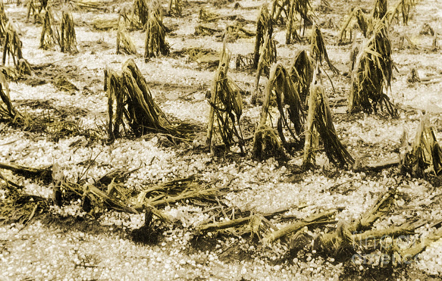 History Photograph - Cornfield After Hailstorm by Science Source