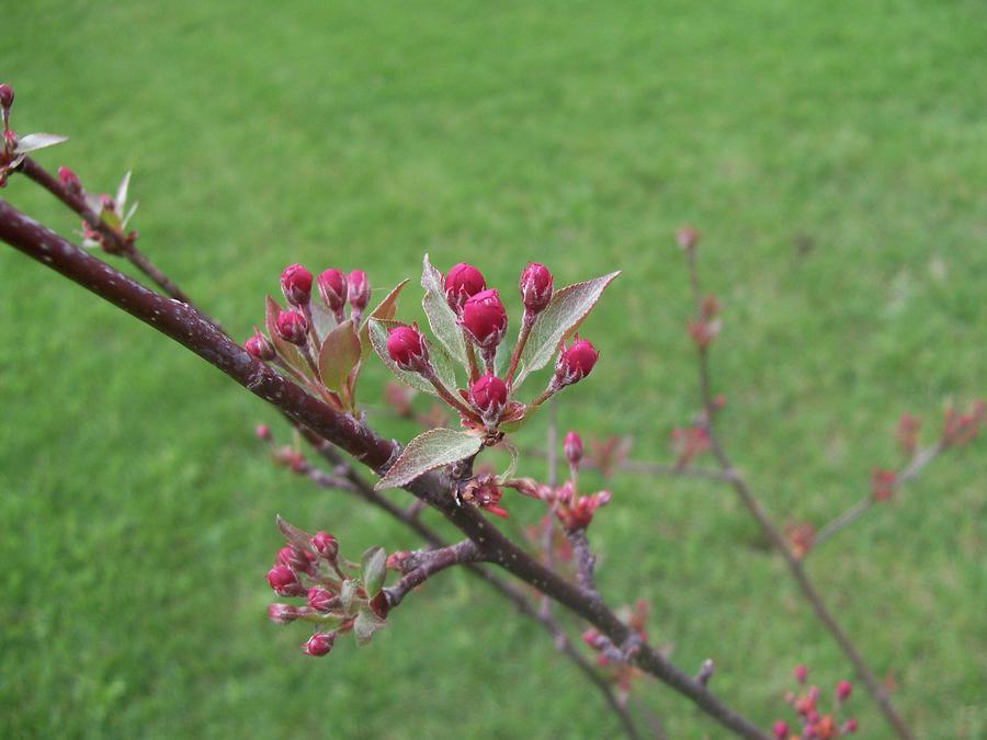 Crab Apple Tree Buds Photograph By Corinne Elizabeth Cowherd