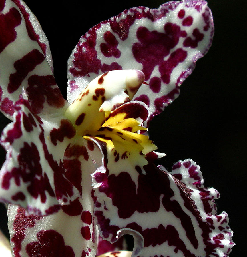 Orchid Photograph - Cribet Exotic Orchids by C Ribet