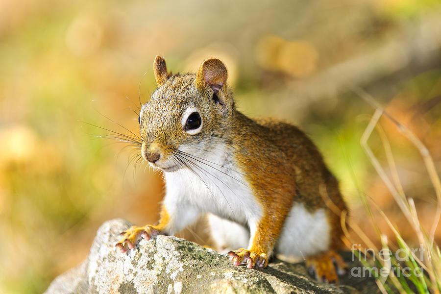 Red Squirrel Photograph - Cute Red Squirrel Closeup by Elena Elisseeva