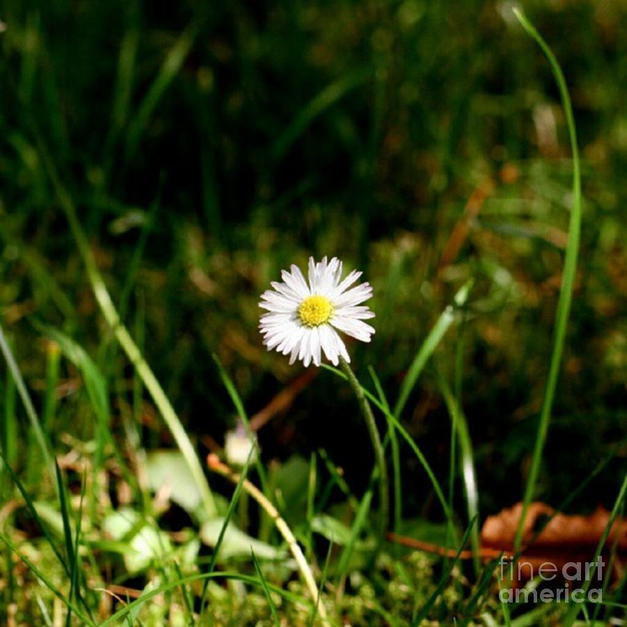 Daisy Photograph - Daisy Daisy by Isabella F Abbie Shores
