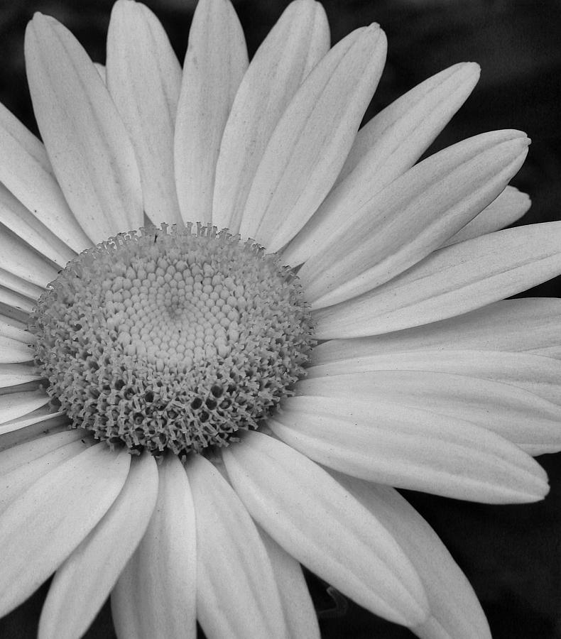 Daisy In Black And White Photograph by Bruce Bley
