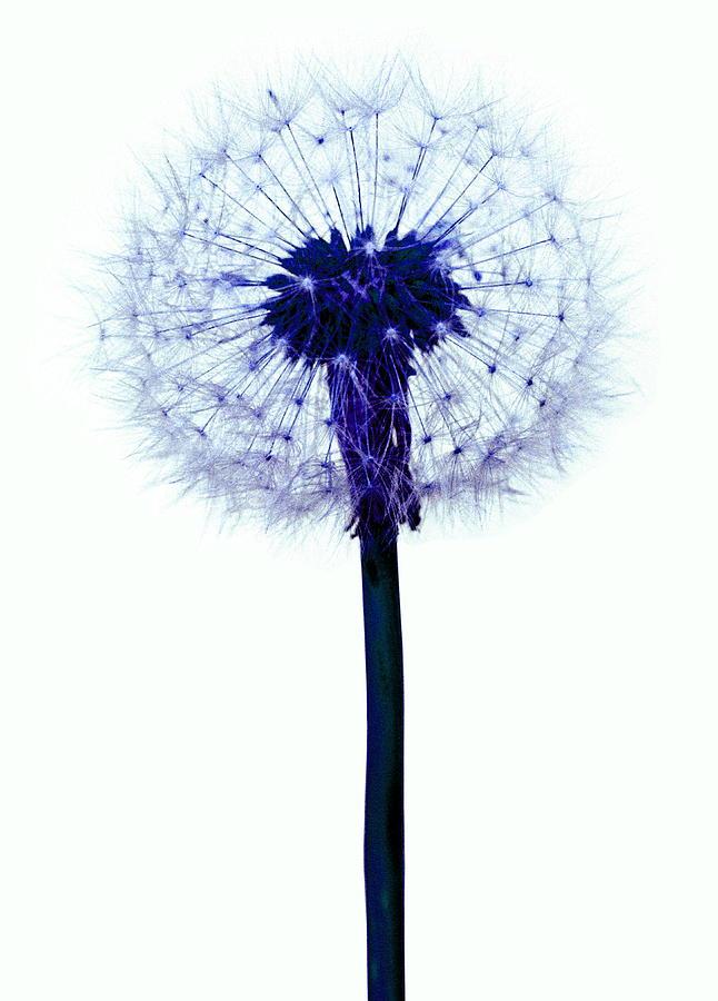 Taraxacum Officinale Photograph - Dandelion Seed Head by Victor De Schwanberg