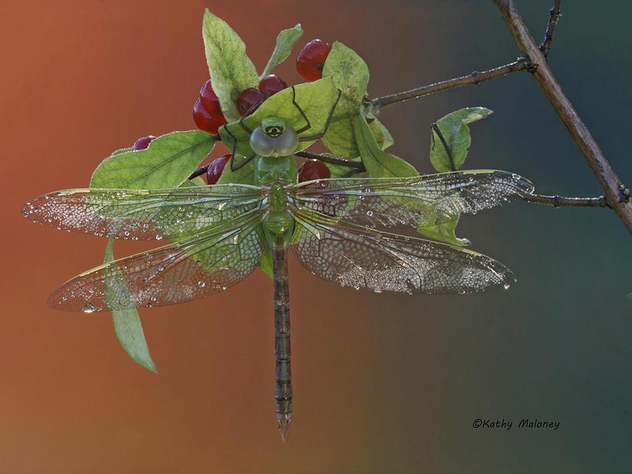 Darner on Berries by Kathy Maloney