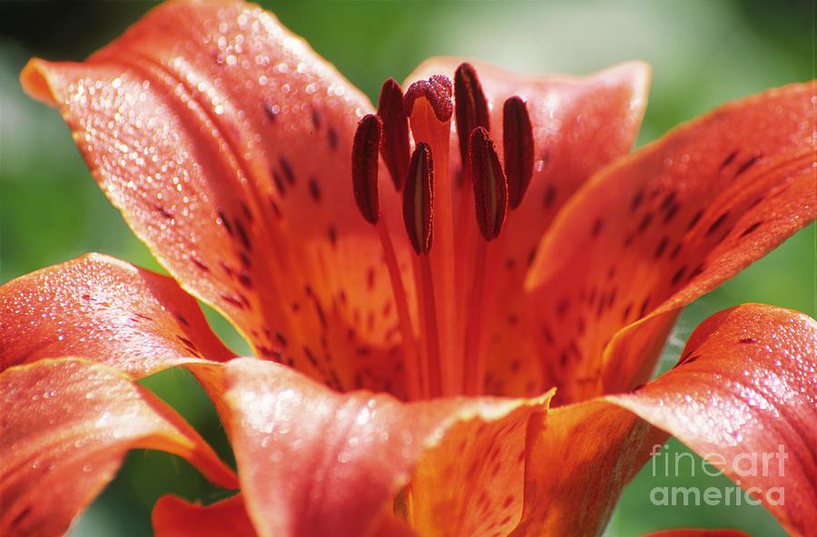 Lilium Dauricum Photograph - Daurian Lily (lilium Dauricum) by Dr. Nick Kurzenko