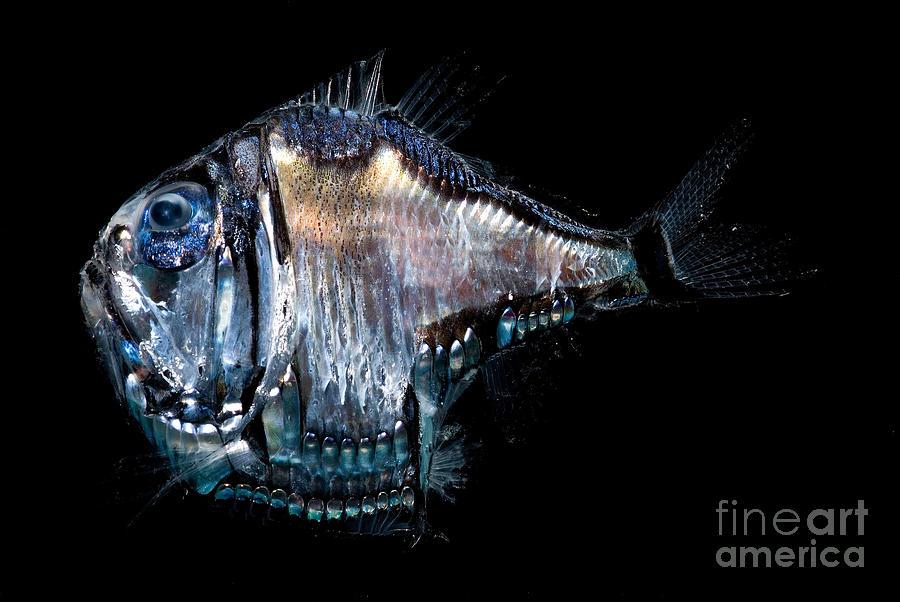 Deep Sea Hatchetfish Photograph By Dant Fenolio