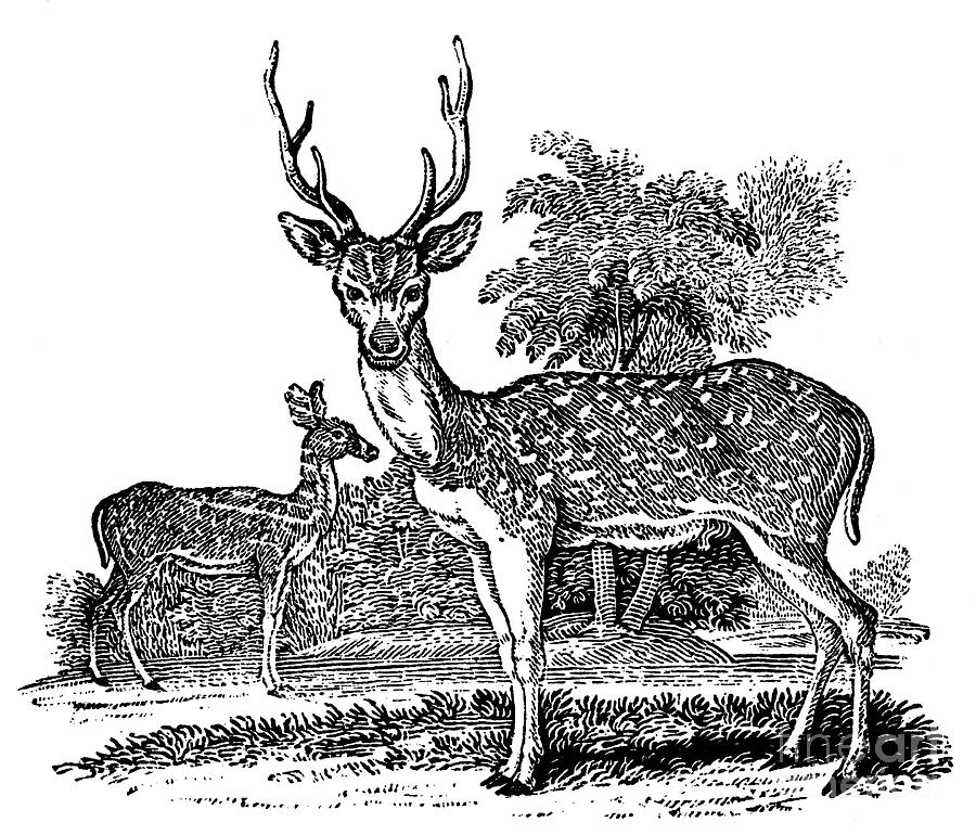 1824 Photograph - Deer by Granger