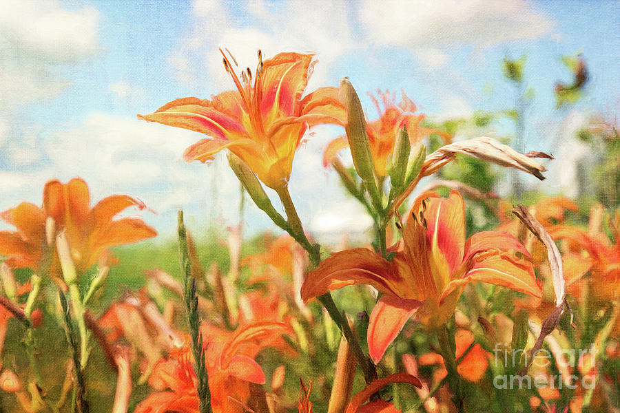 Background Photograph - Digital Painting Of Orange Daylilies by Sandra Cunningham