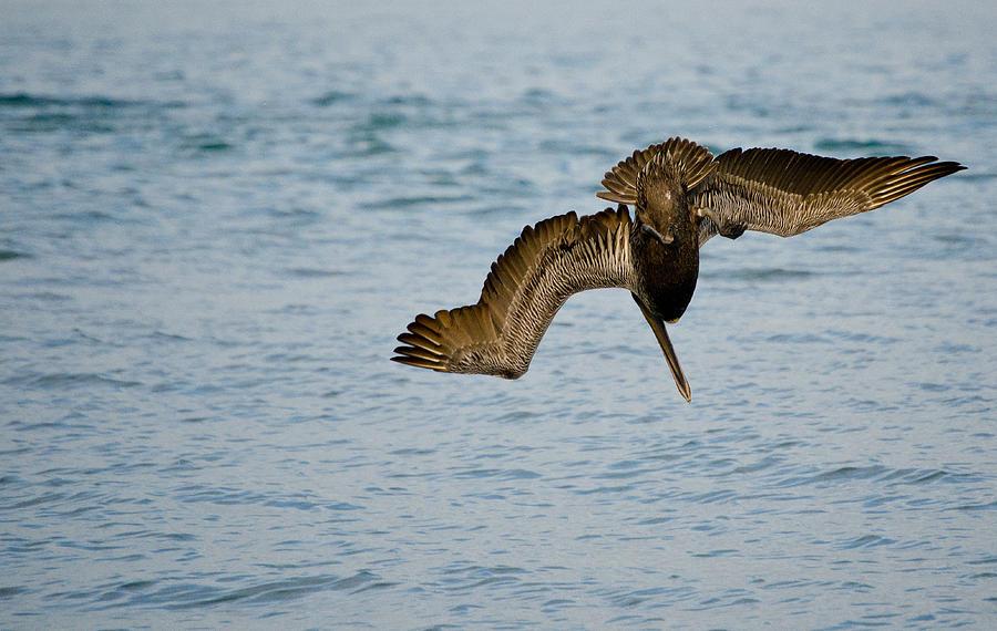 Sanibel Island Photograph - Diving Pelican by Mike Rivera