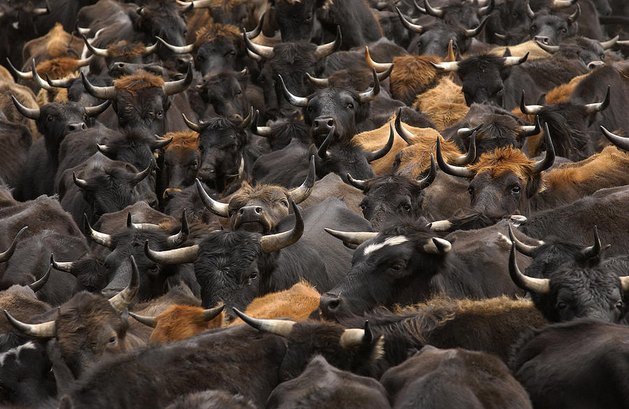 Domestic Cattle Bos Taurus Being Herded Photograph By Pete