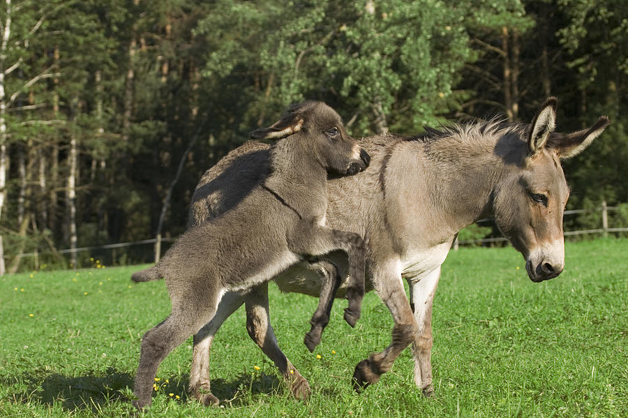 Mp Photograph - Donkey Equus Asinus Adult With Foal by Konrad Wothe