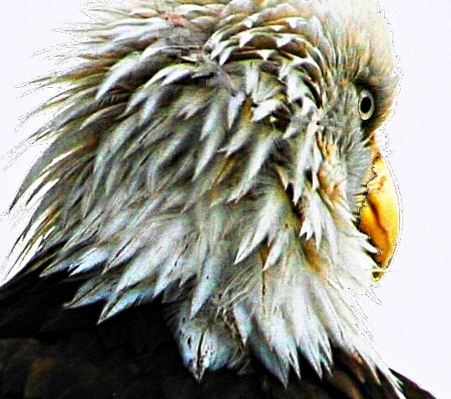 Bald Eagles Digital Art - Dont Worry Be Happy by Carrie OBrien Sibley