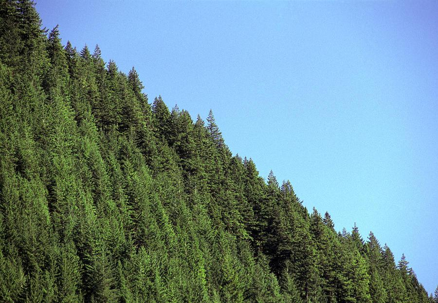 Pseudotsuga Menziesii Photograph - Douglas Fir Forest, British Columbia, Canada by Kaj R. Svensson