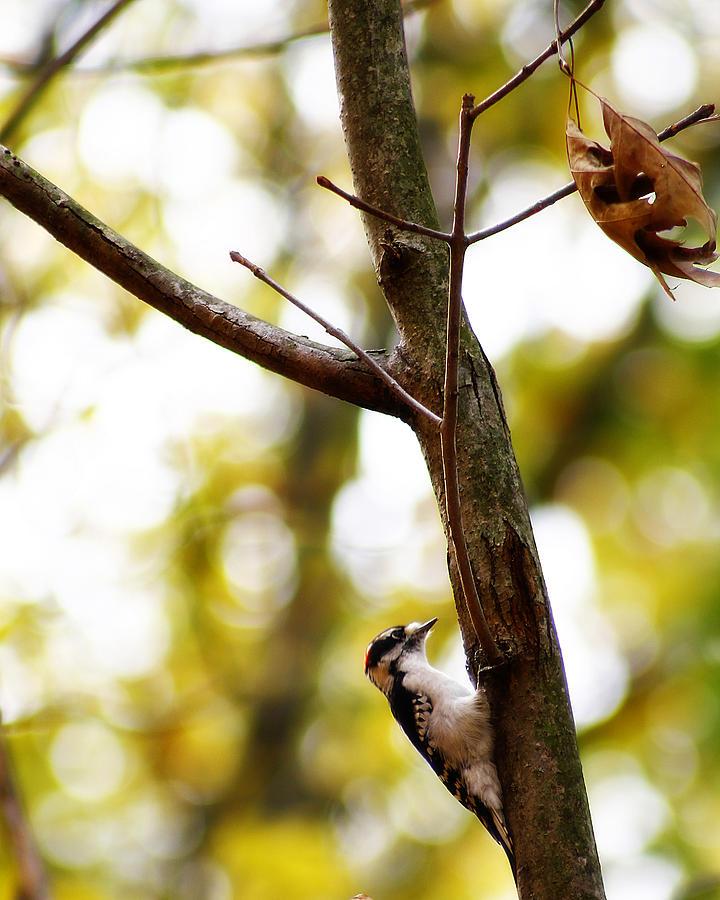 Michigan Photograph - Downy Woodpecker by Scott Hovind