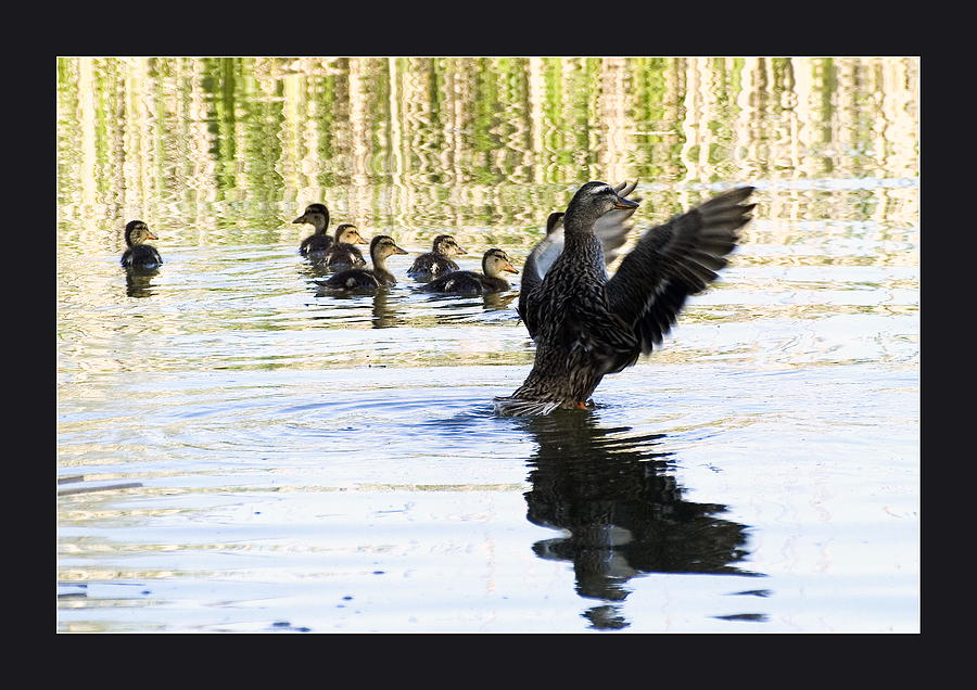 Agriculture Photograph - Duck Family by Odon Czintos