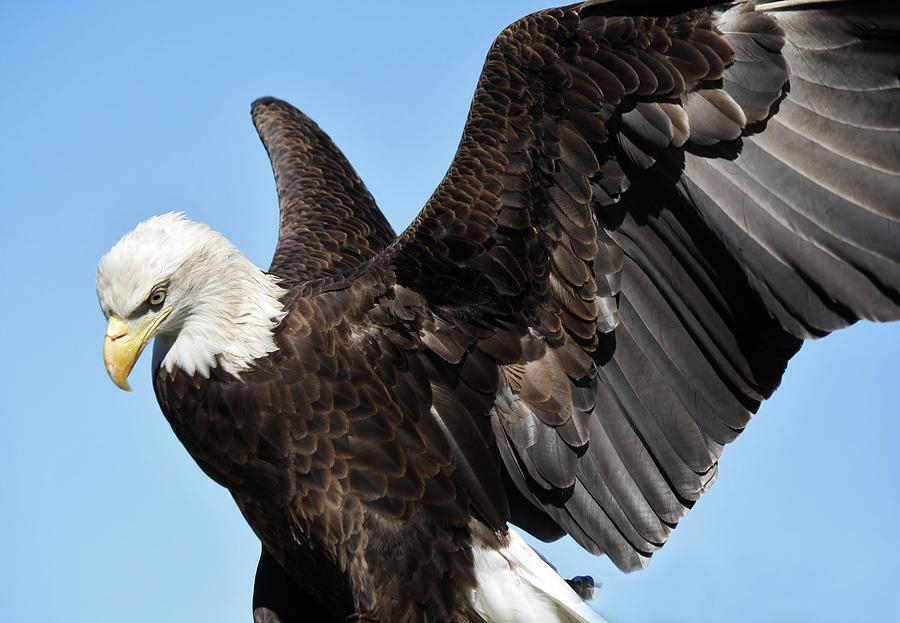 Birds Photograph - Eagle by Paulette Thomas