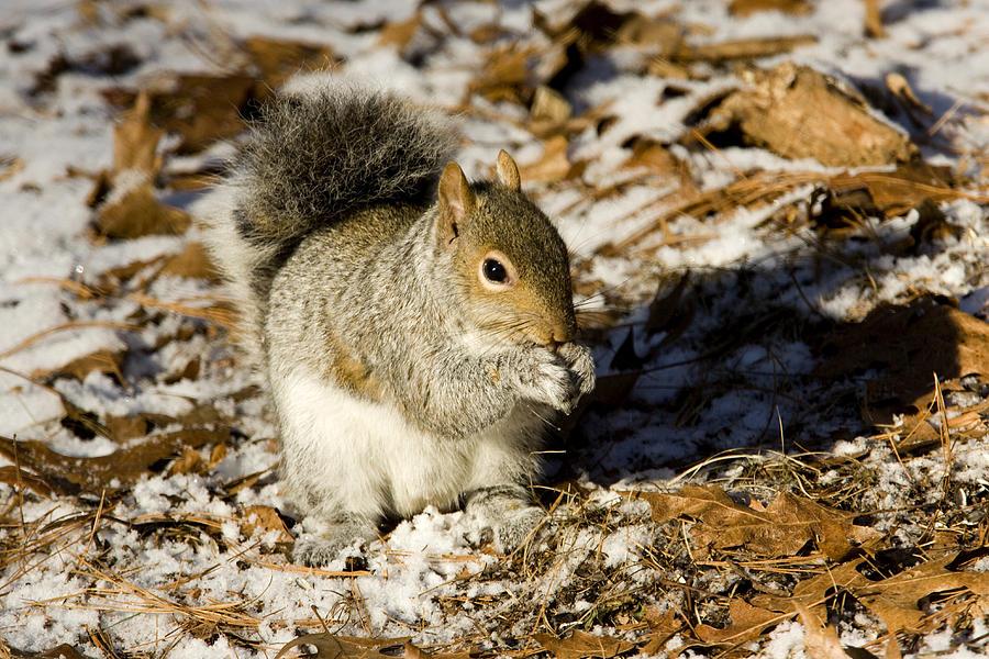 Animal Behavior Photograph - Eastern Gray Squirrel Sciurus by Tim Laman