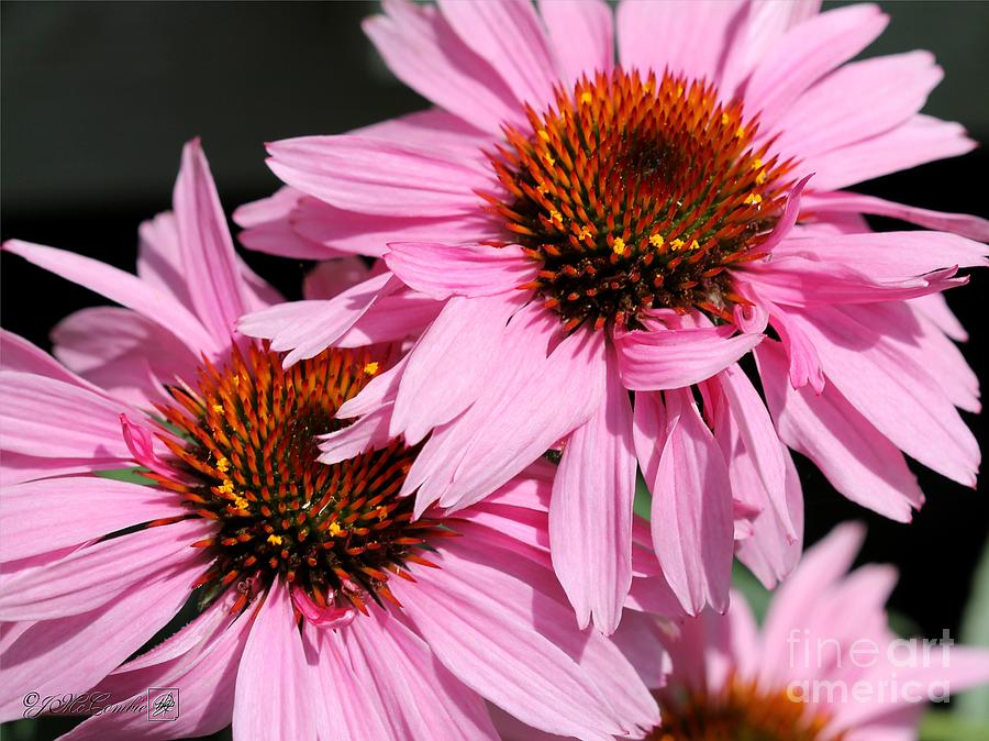 Echinacea Purpurea Photograph - Echinacea Purpurea Or Purple Coneflower by J McCombie