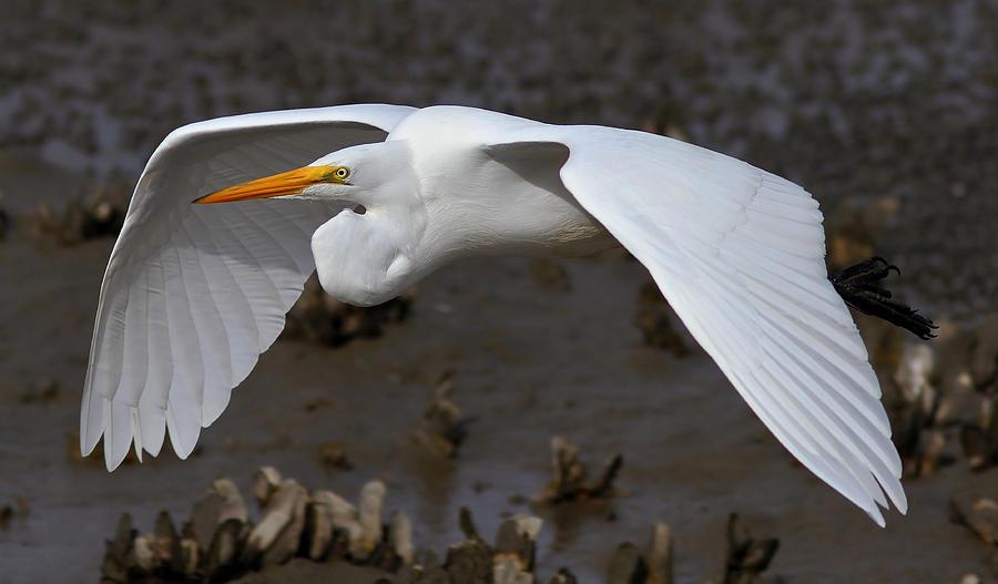 Great Egret Photograph - Egret Flight by Phil Lanoue