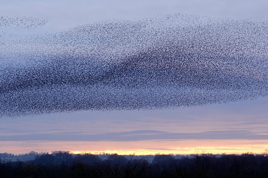 Sturnus Vulgaris Photograph - European Starling Flock by Duncan Shaw