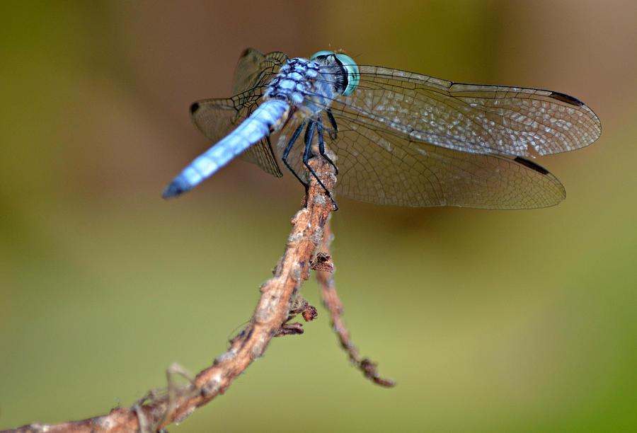 Blue Dasher Dragonfly Photograph - Face Forward by Fraida Gutovich