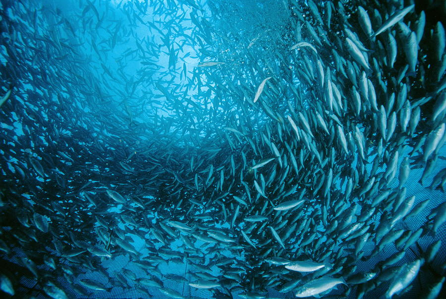 Dicentrarchus Labrax Photograph - Farmed Sea Bass by Alexis Rosenfeld