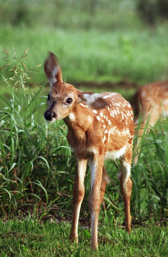 Deer Photograph - Fawn by Rick Rauzi