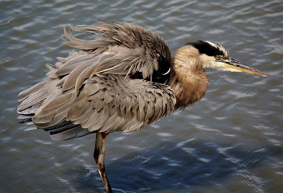 Great Blue Heron Photograph - Feathers by Paulette Thomas