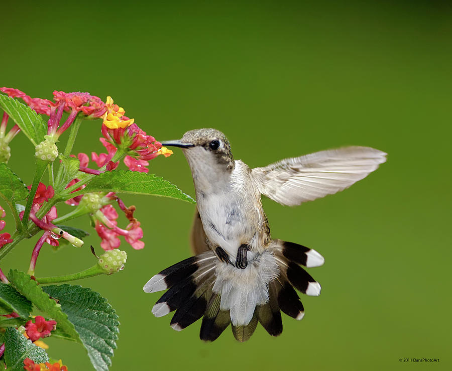 Horizontal Photograph - Female Hummingbird by DansPhotoArt on flickr