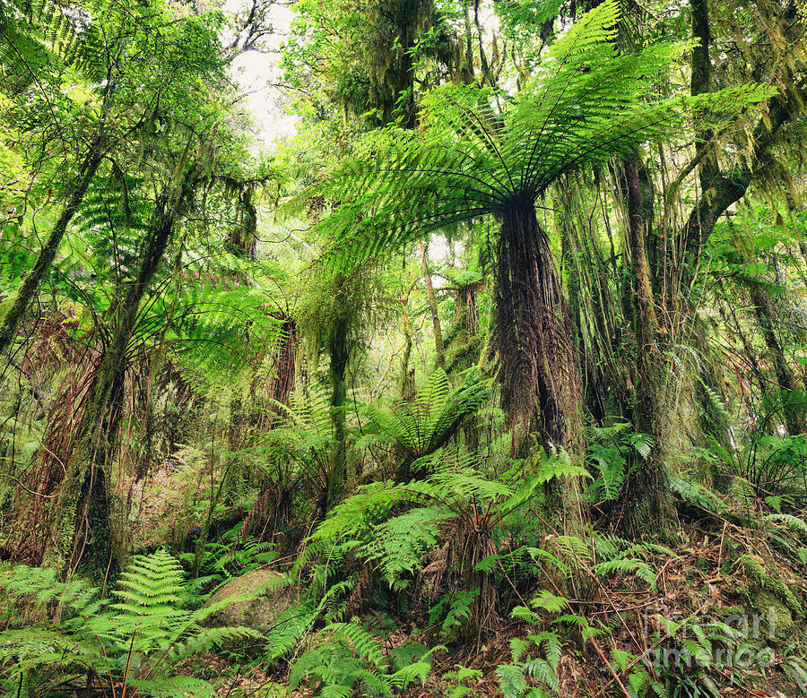 Native Photograph - Fern Tree by MotHaiBaPhoto Prints