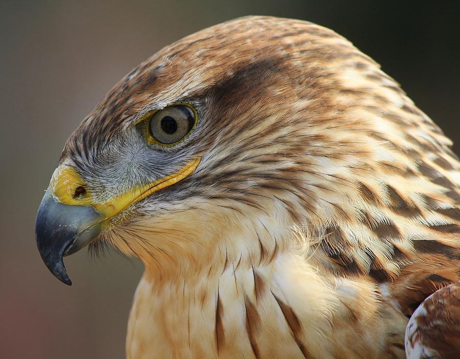 Birds Photograph - Ferruginous Hawk by Paulette Thomas