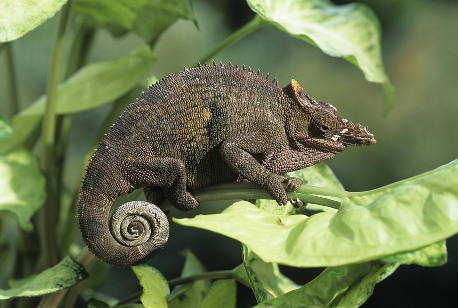 Fischers chameleon photograph by david aubrey fischers chameleon photograph fischers chameleon by david aubrey thecheapjerseys Choice Image