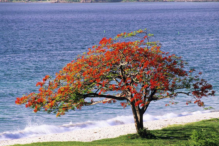 Flamboyant Tree Photograph By David Nunuk
