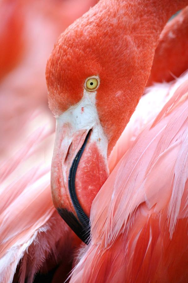 Flamingo Photograph - Flamingo by Paulette Thomas