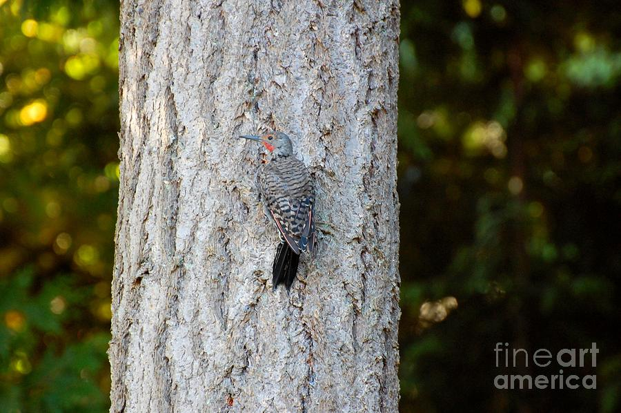 Woodpecker Photograph - Flicker by Marsha Thornton