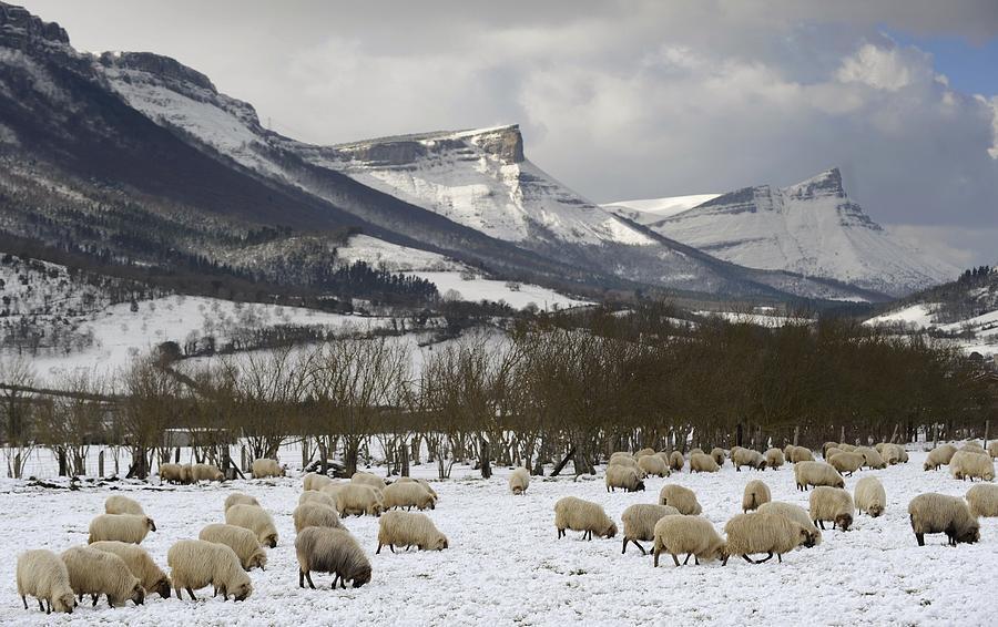 Horizontal Photograph - Flock Of Sheep In The Snow by Rafa Rivas