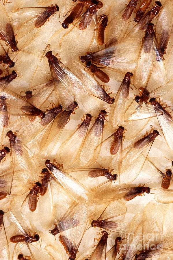 Formosan Termite Photograph - Formosan Termites by Science Source