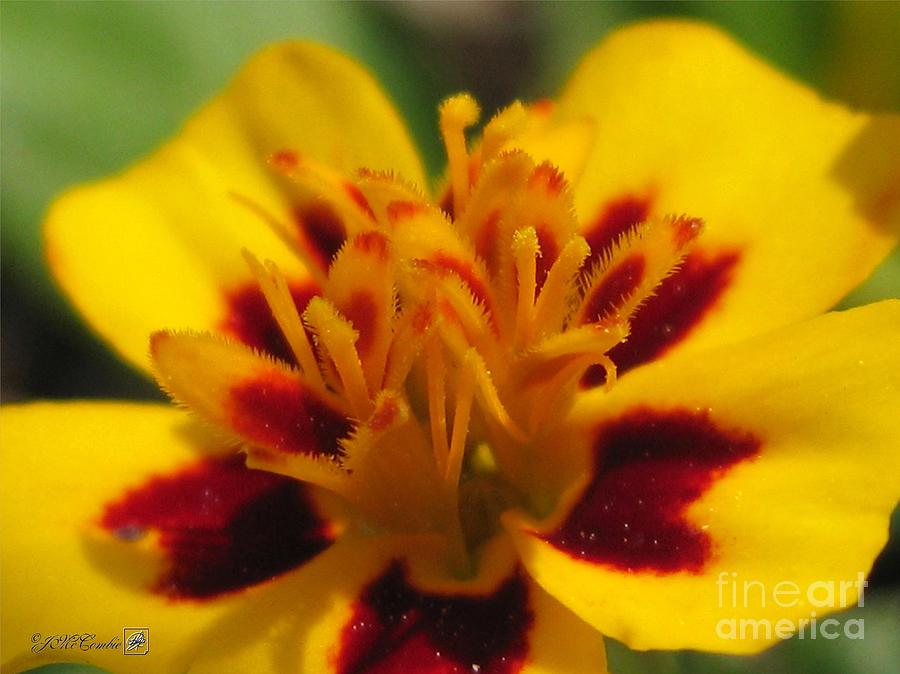 French Marigold Photograph - French Marigold Named Starfire by J McCombie