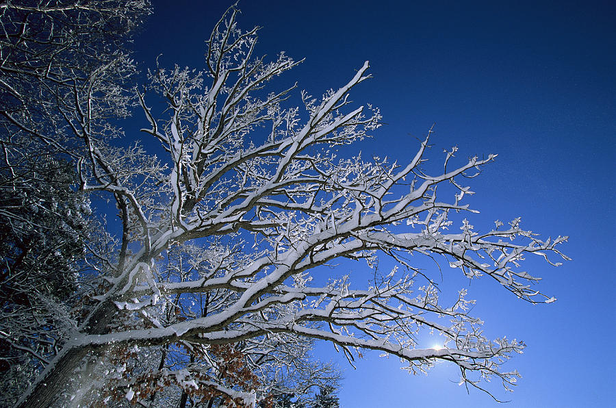 Outdoors Photograph - Fresh Snowfall Blankets Tree Branches by Tim Laman