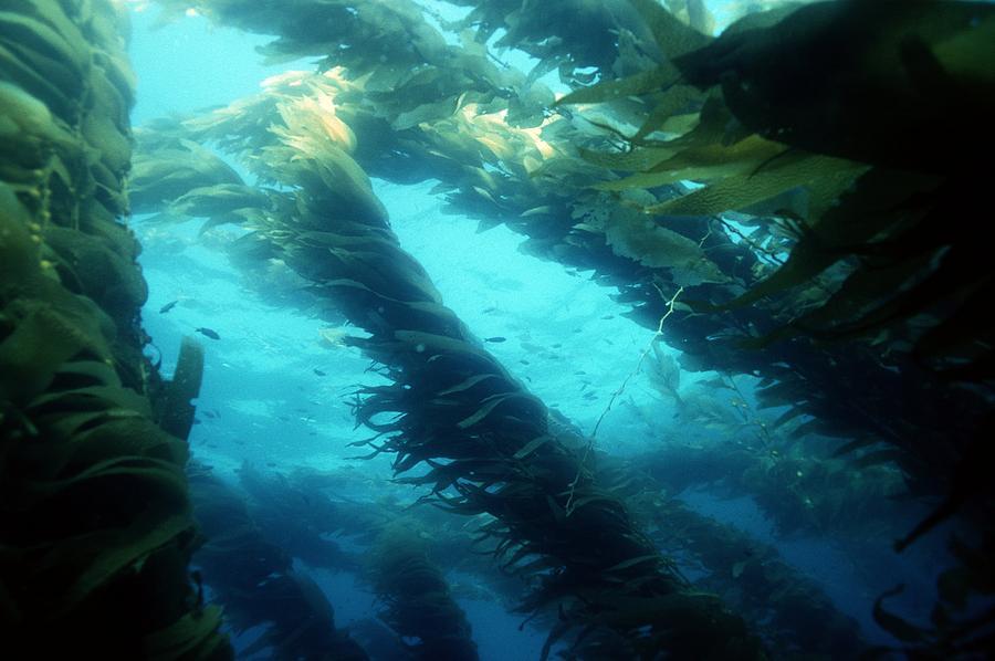 Plant Photograph - Giant Kelp by Georgette Douwma