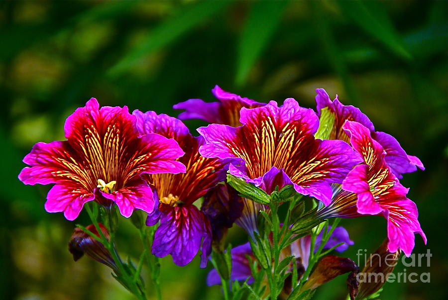 Salpiglossis Sinuata Photograph - Gleaming In Purple And Gold by Byron Varvarigos